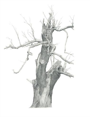 Ickworth Tree