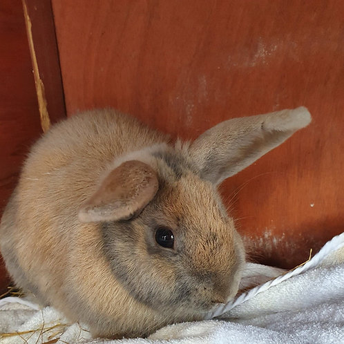 $80 Donation-cover costs of rabbit vaccination