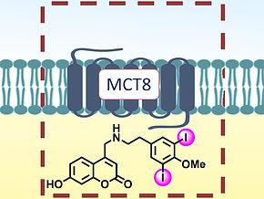 ChemistryViews: Halogen-Mediated Transport through Cell Membranes
