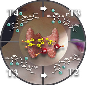Replacement of single atom alters thyroid biochemical cascade