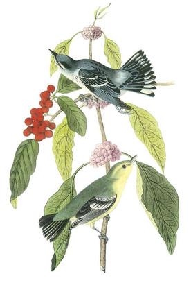 Cerulean Wood-Warbler