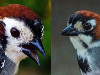 I Conteo Pinzón Cafetalero (Melozone biarcuata) | I Prevost's Ground-Sparrow survey