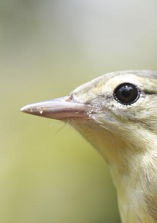 Pale supercilium and thin dark line through the eye.