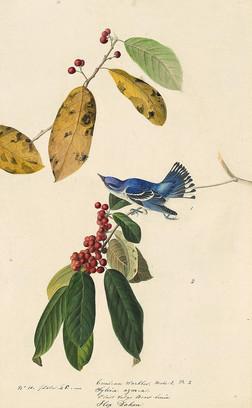 Cerulean Warbler Male