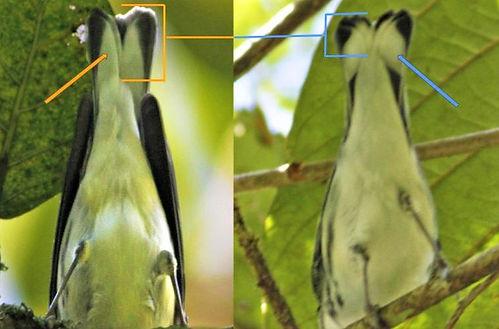 Fusca_Cerulea comparison.jpg