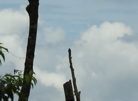Time-lapse: Western Wood-Pewee