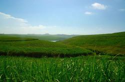 Sugar cane field surrounds