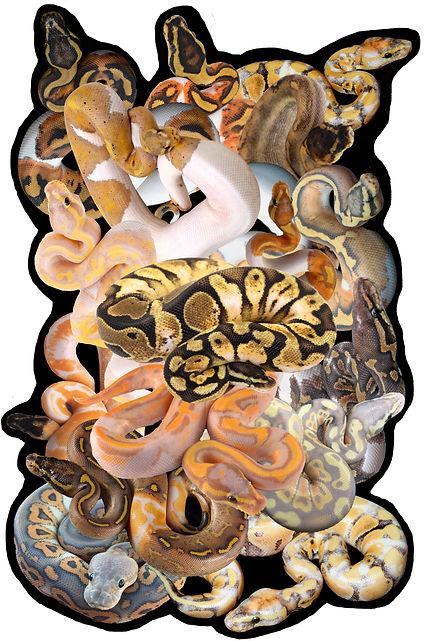 pythonsnakepileweb.jpg