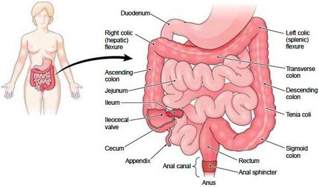 Endometriosis and the Bowel | Endometriosis Australia | Home