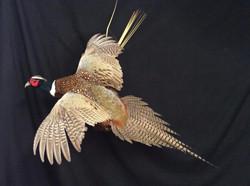 Ring Neck Pheasant Flying Mount
