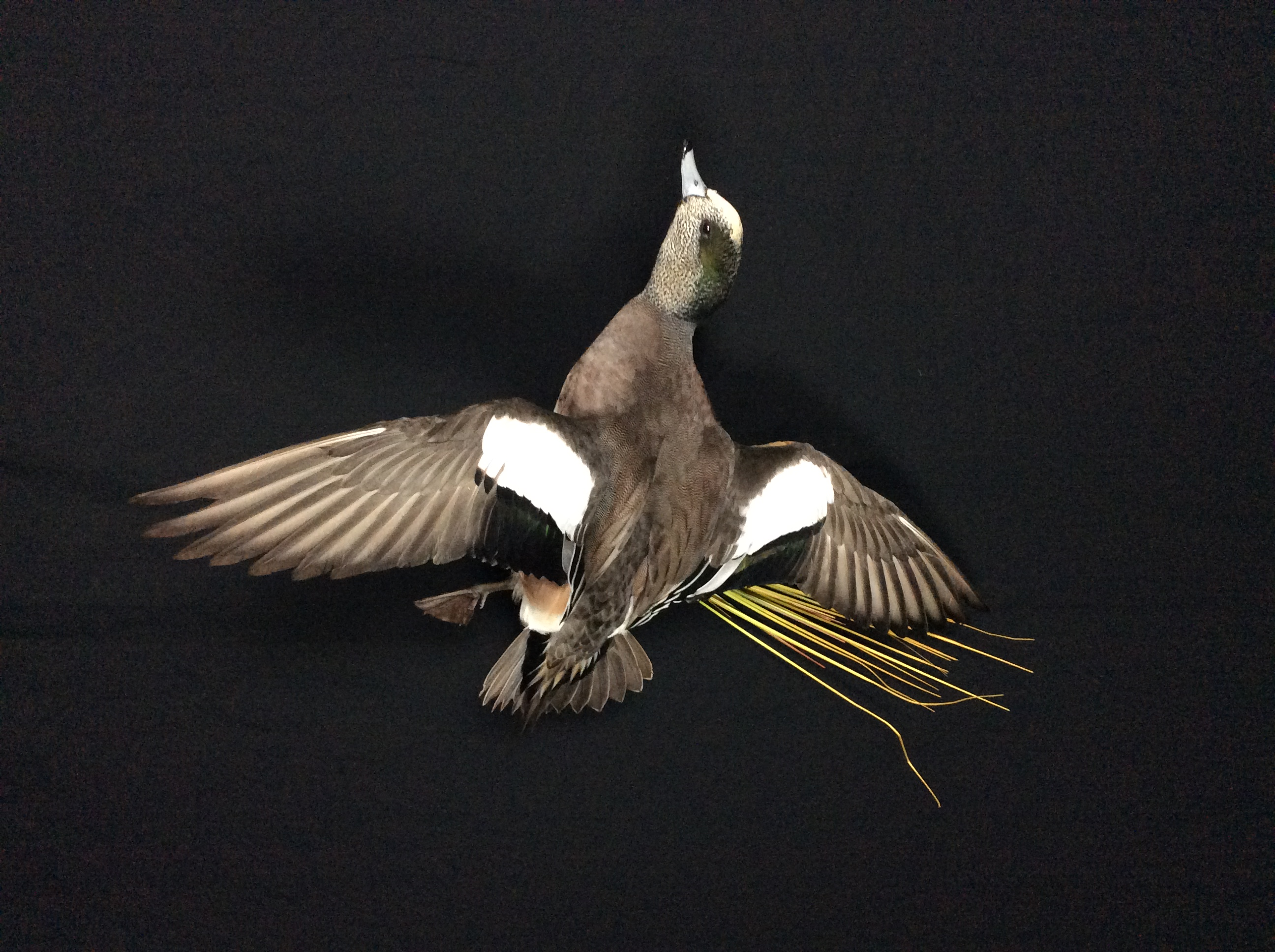 Widgeon drake flying mount