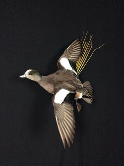 Widgeon drake flying mount