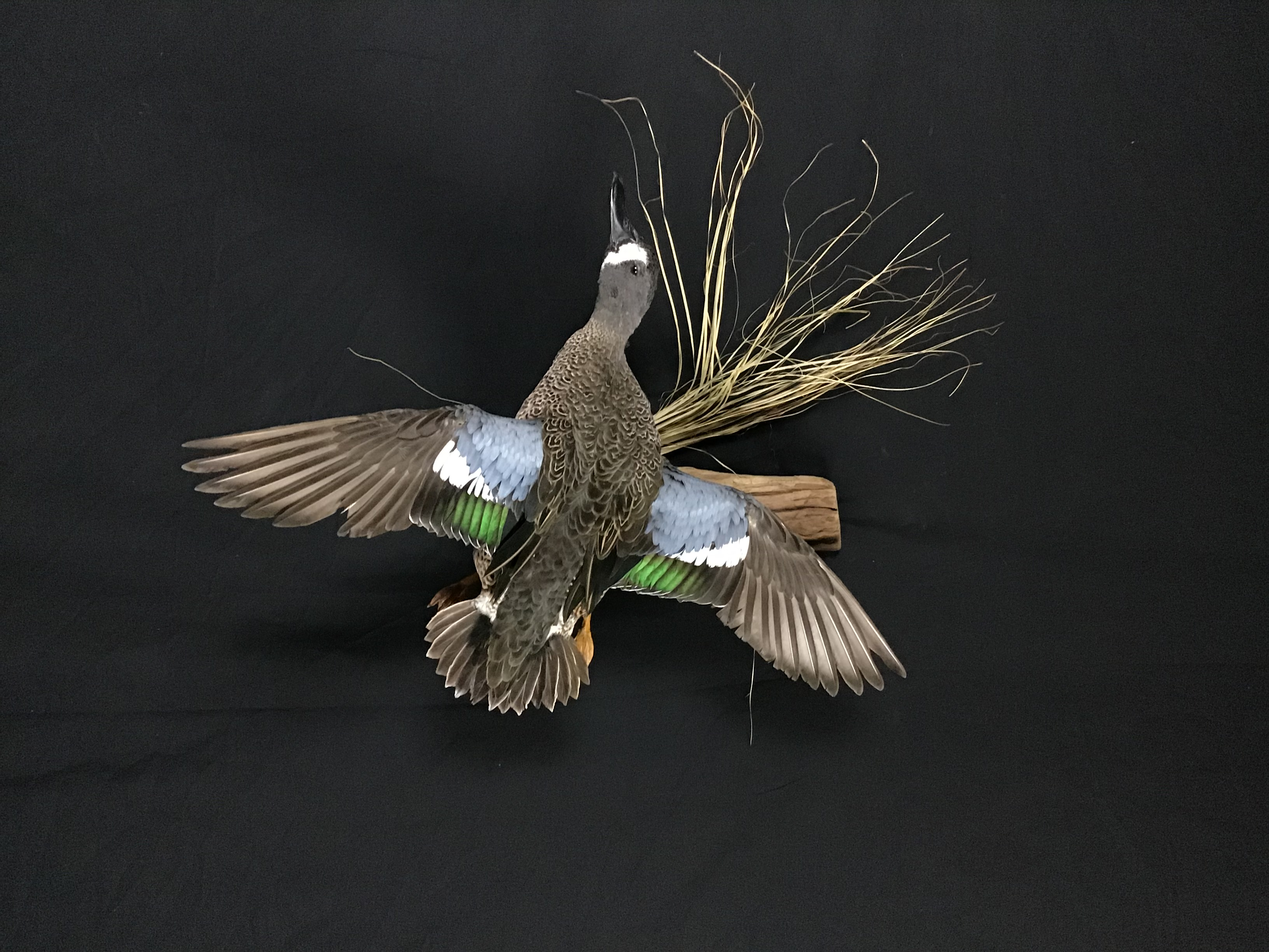 Blue wing Teal drake flying mount