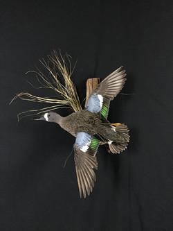 Blue wing Teal drake flying mount