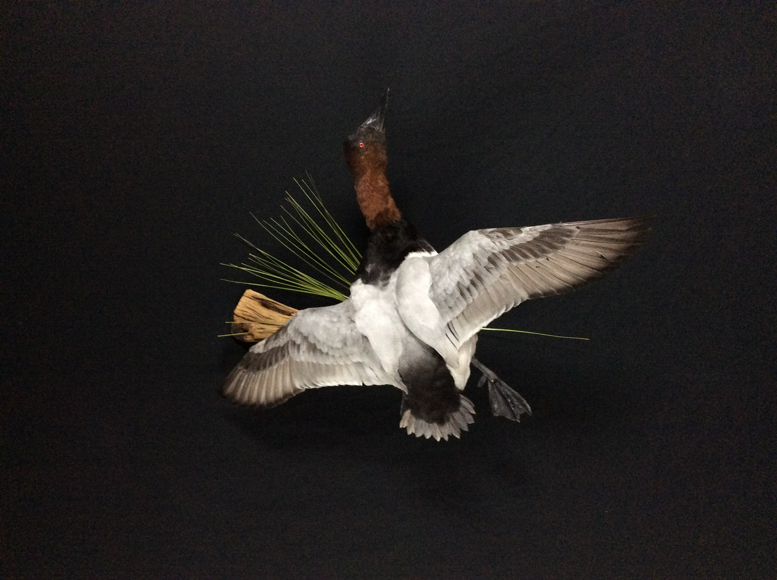Canvasback drake flying mount