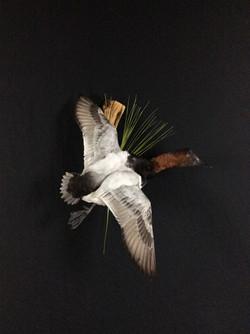 Canvasback drake flying mount
