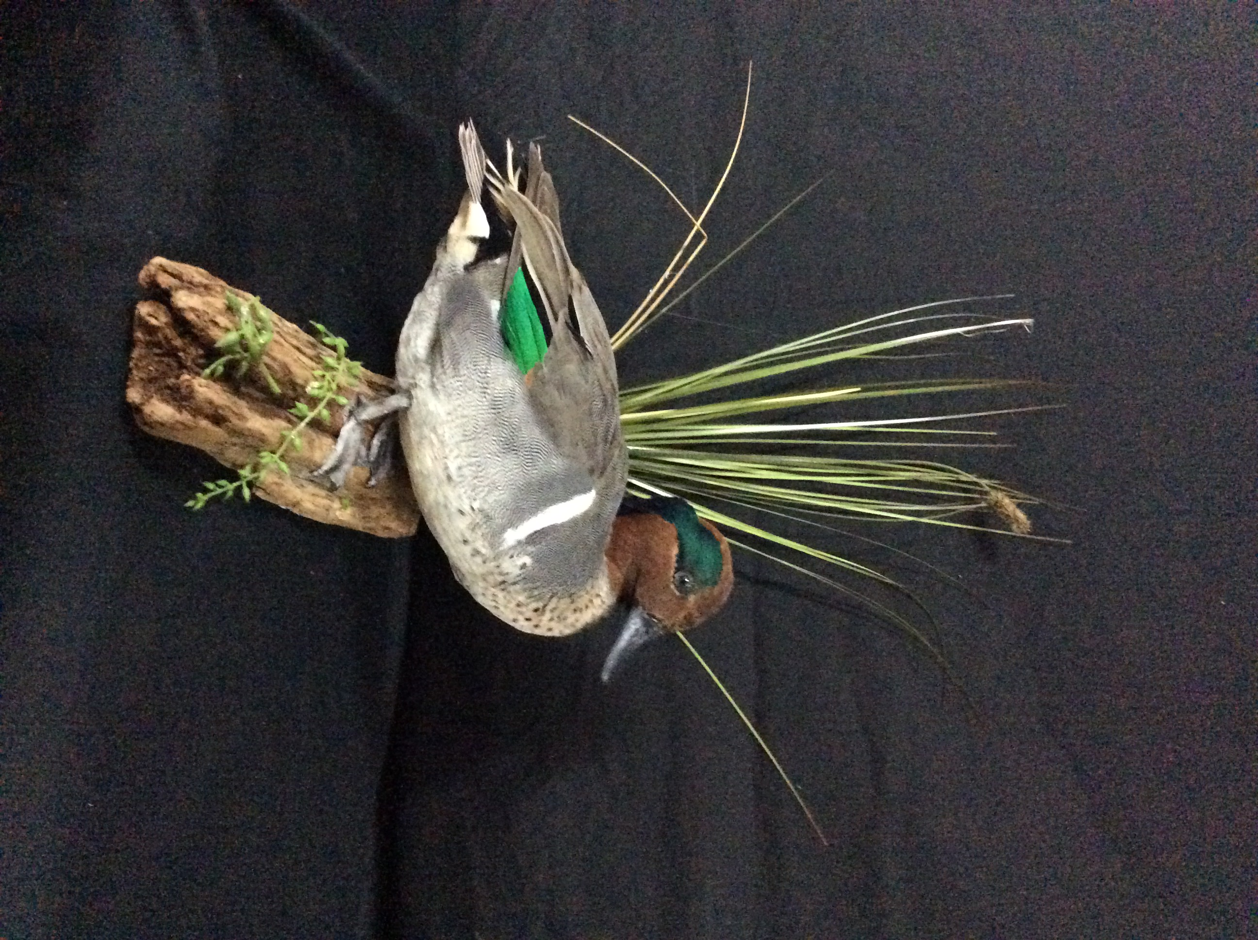 Green Wing Teal standing mount