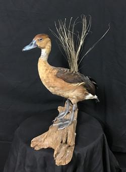 Fulvus Whistling Duck Mount
