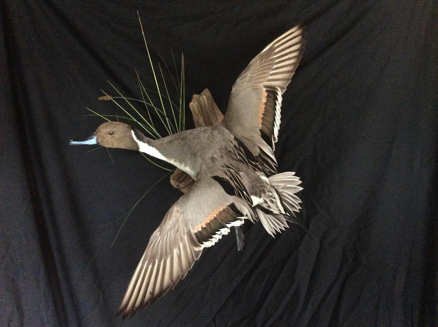Banded Pintail Drake Flying Mount