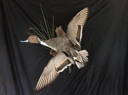 Banded Pintail Drake Flying Mount