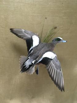Widgeon Flying