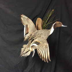 Banded Pintail Elevating