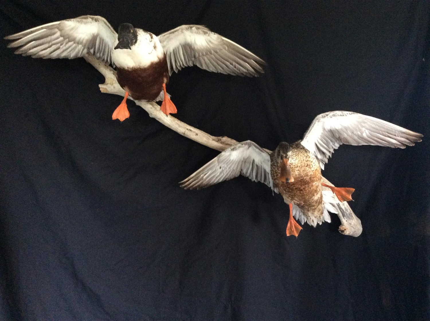 Shoveler Pair Flying Mount