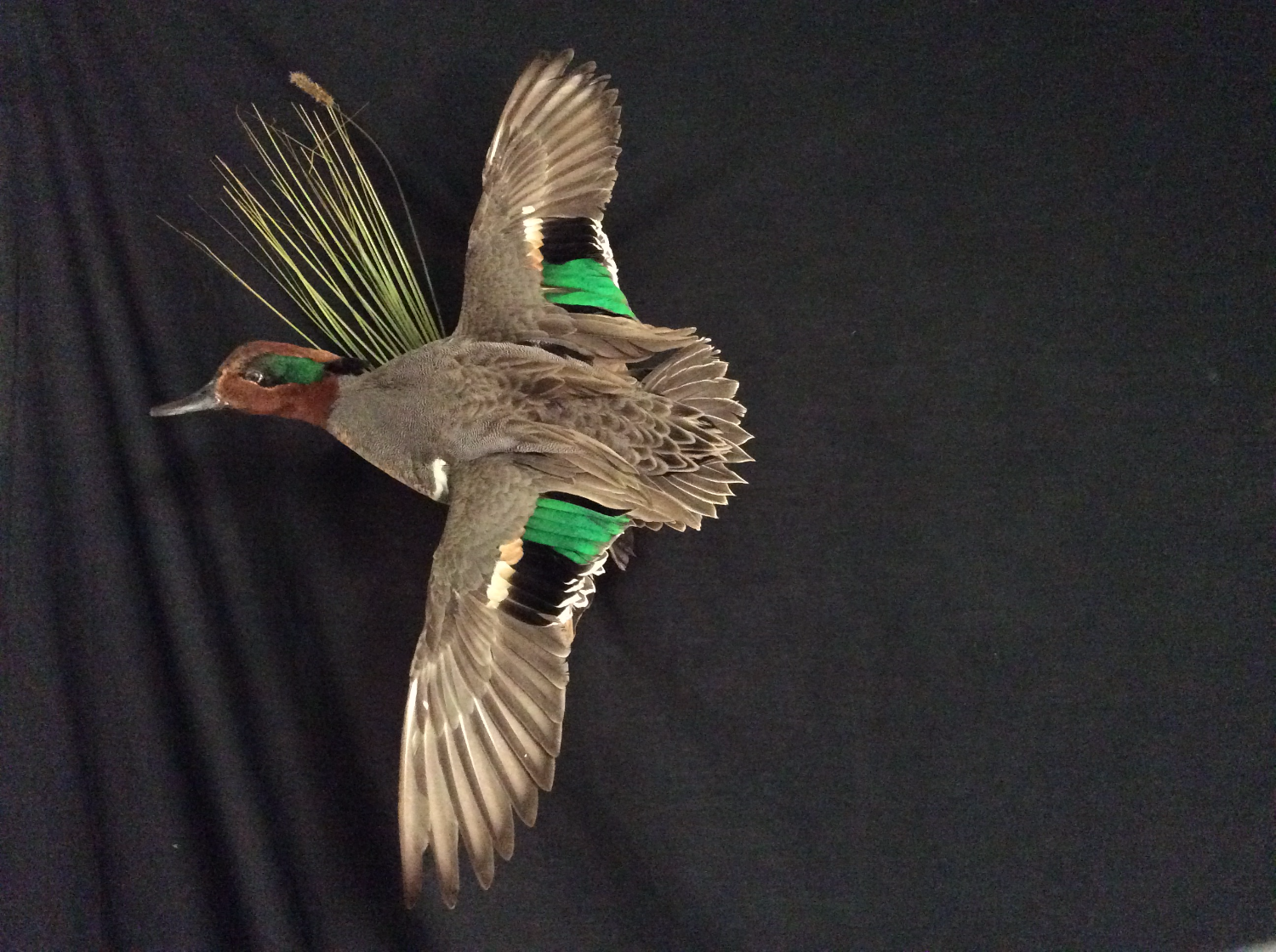 Green Wing Teal Drake