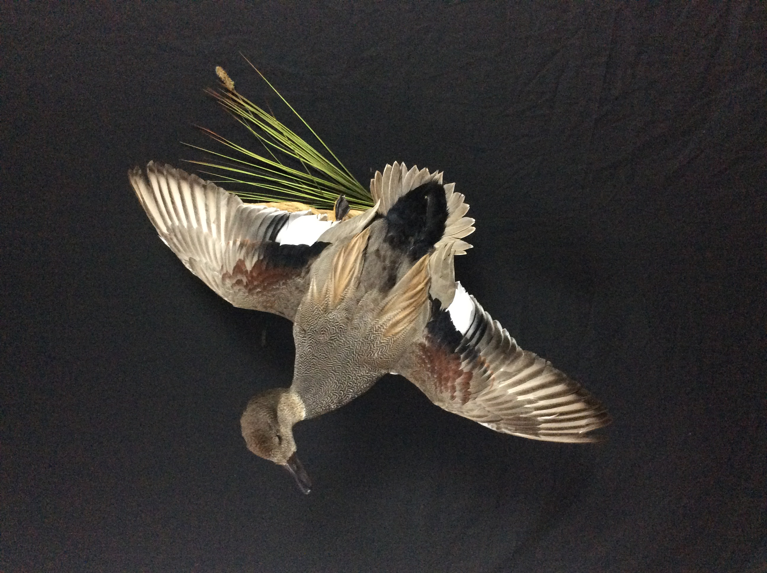 Gadwall Flying Mount