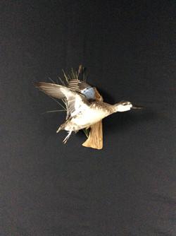 Blue wing teal hen flying mount