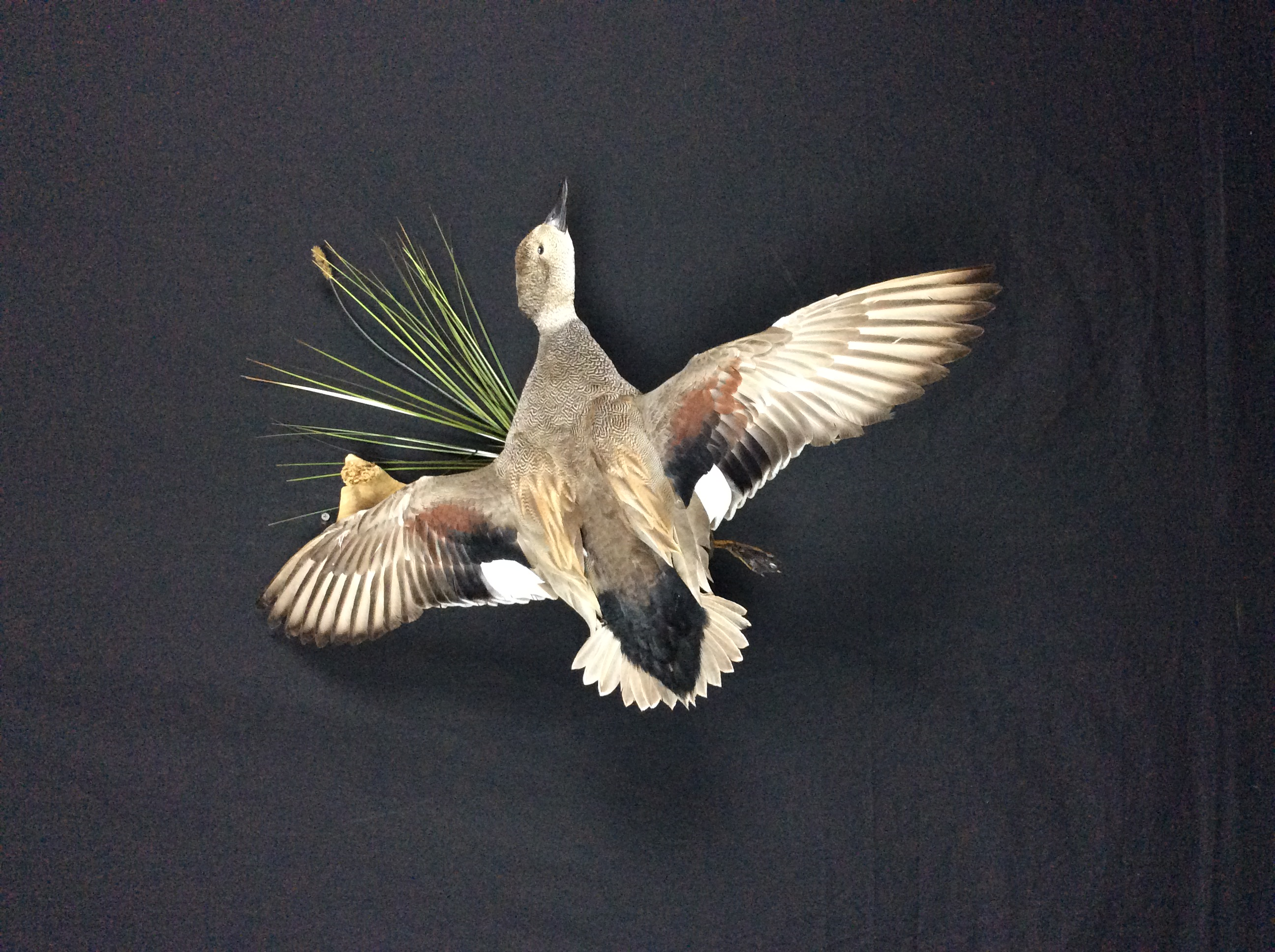 Gadwall drake flying mount