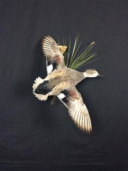 Gadwall drake flying mount