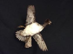 Hooded Merganser Hen Flying Mount