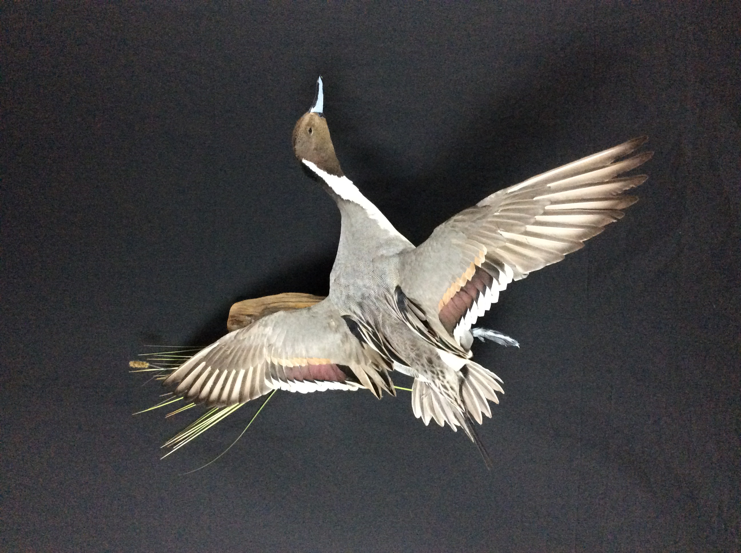 Pintail drake flying mount