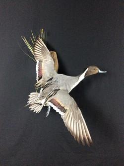Pintail drake flying mount