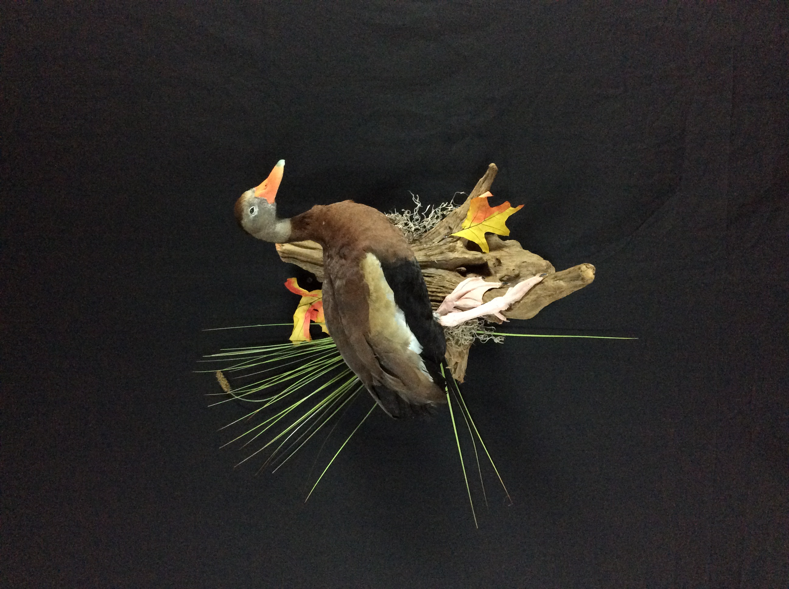 Tree Duck standing mount