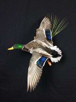 Mallard drake flying mount