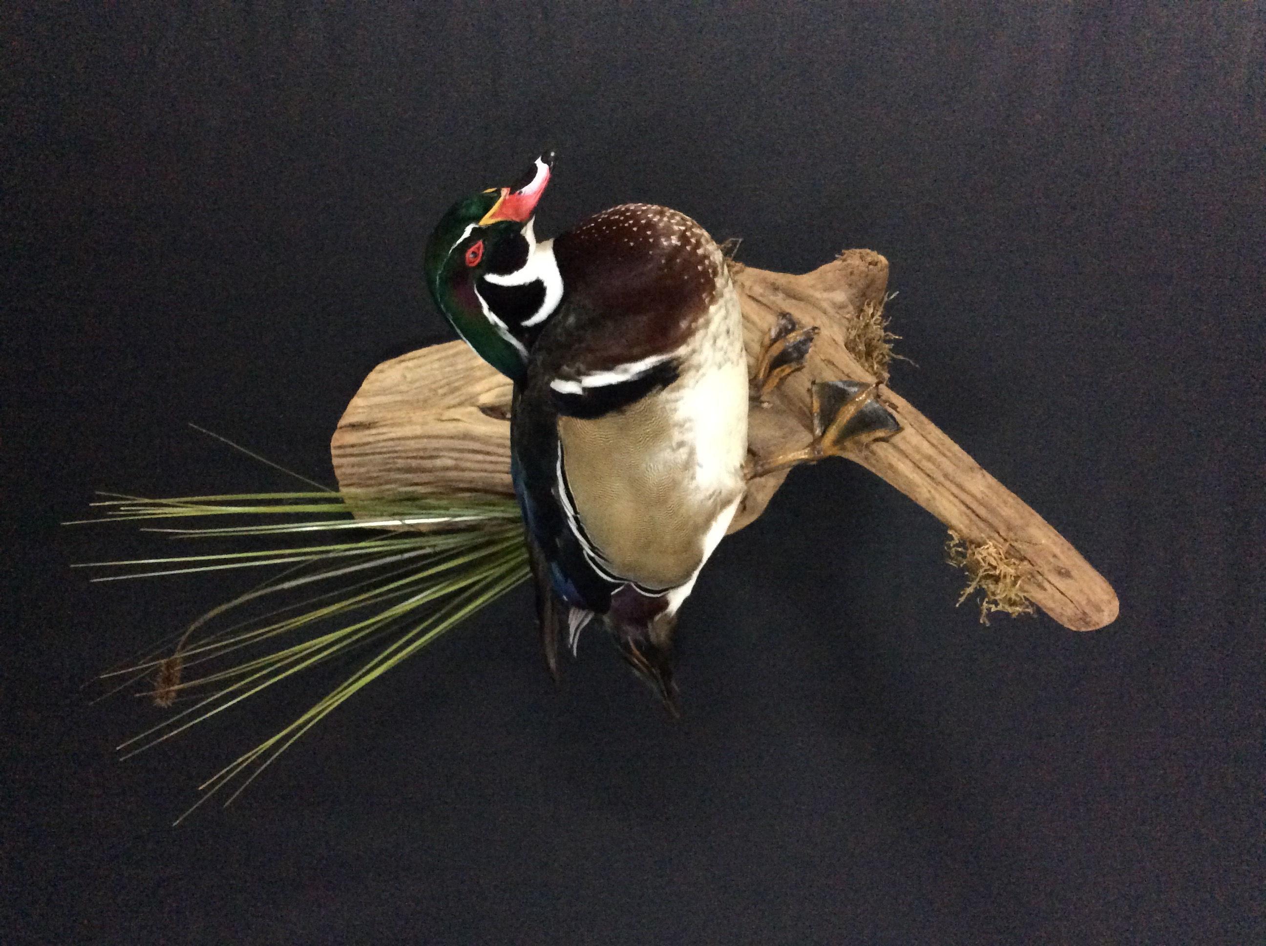 Wood Duck standing mount