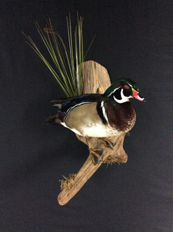 Wood Duck standing mount