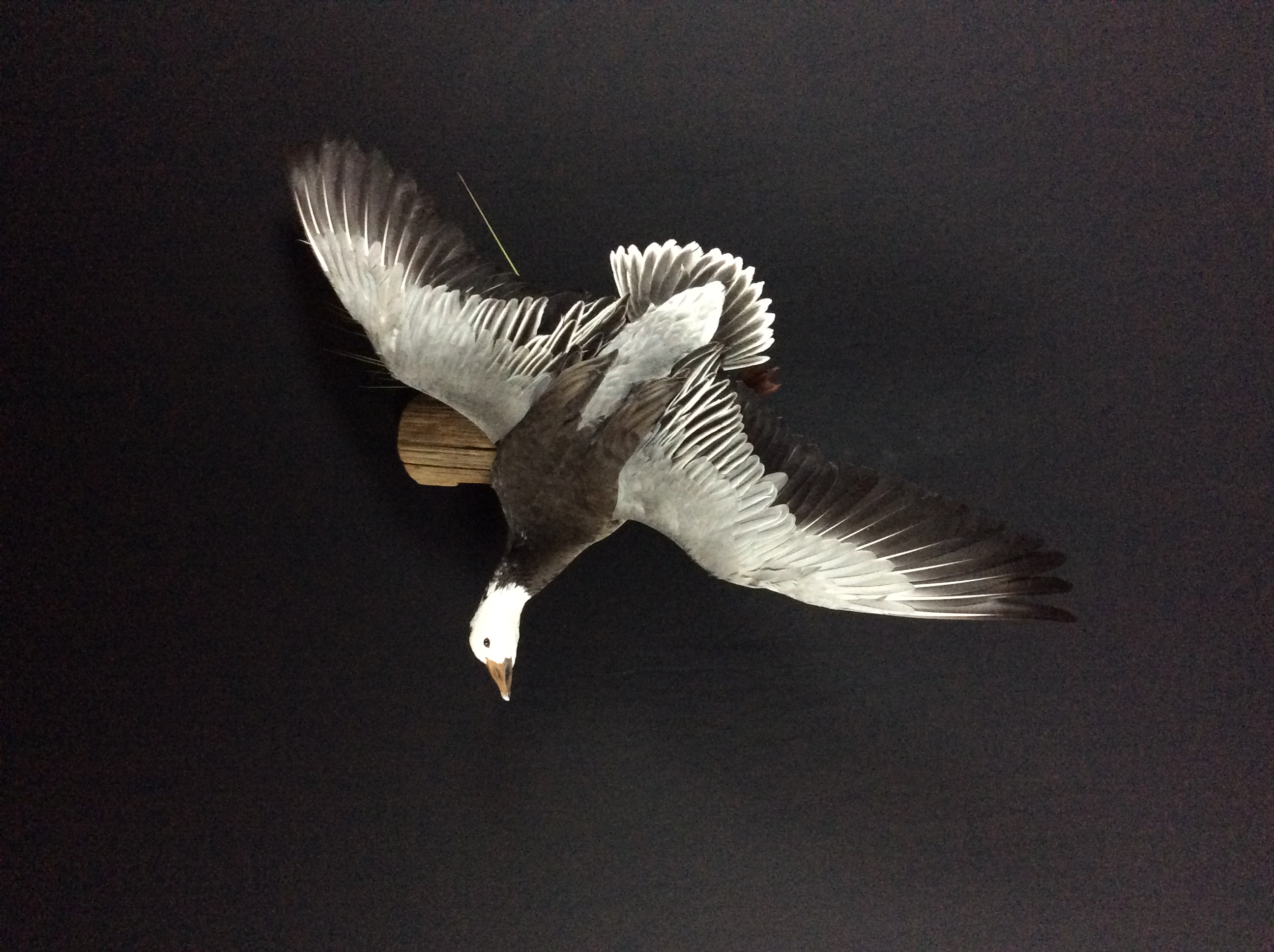 Blue goose flying mount