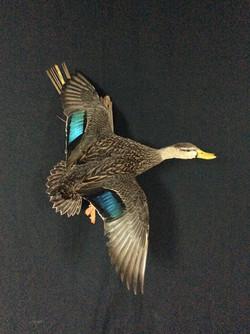 Mottled duck drake flying mount