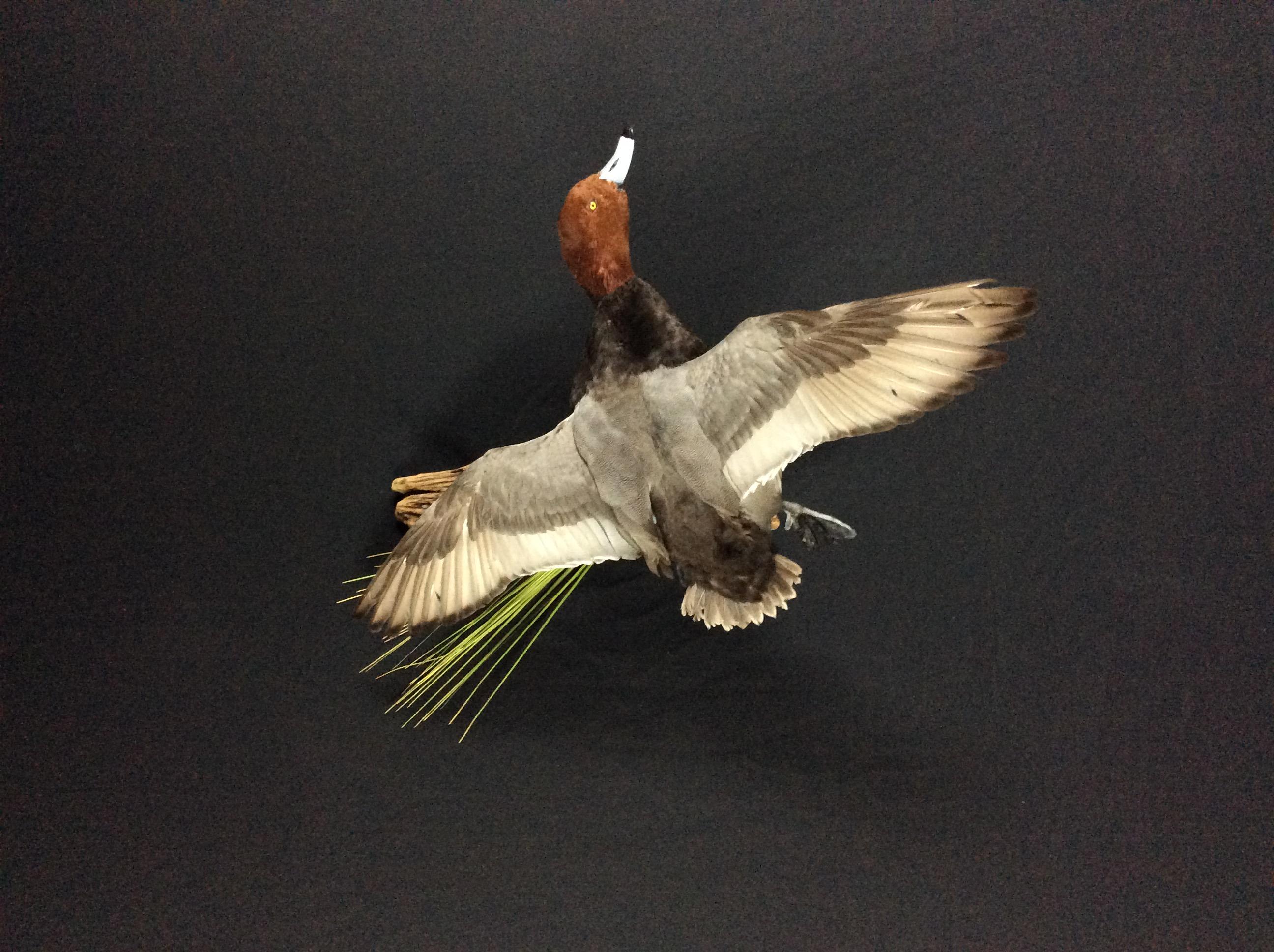 Redhead drake flying mount
