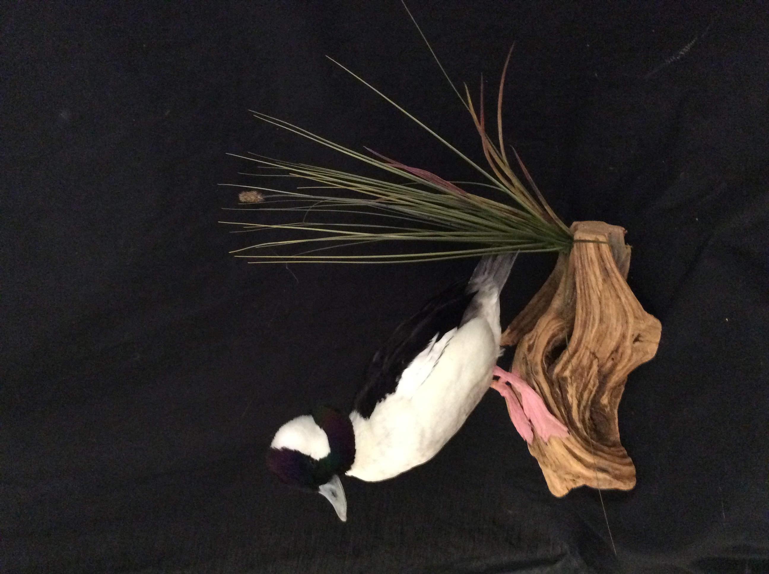 Bufflehead Mount