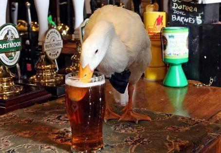 A Beer-Guzzling Duck Walks Into a Bar