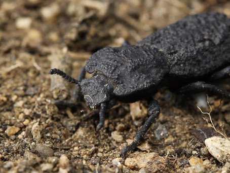 "This ""Diabolical Ironclad Beetle"" Does Well Under Pressure — Literally"