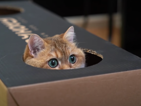 The Reason Why Cats Love Boxes