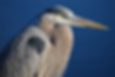 Great blue heron low res.png
