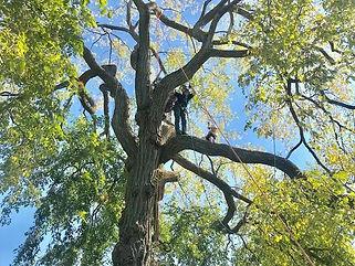 Guys high up in tall tree.jpg