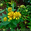 Thumbnail: Dogtooth Daisy - Helenium autumnale