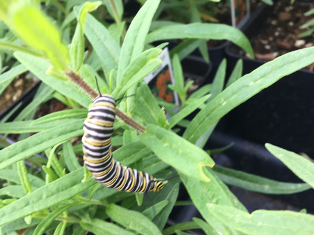 Monster Monarchs
